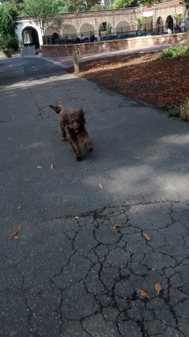 Running for fun, Humphrey is making the most of it during his dog Walking!