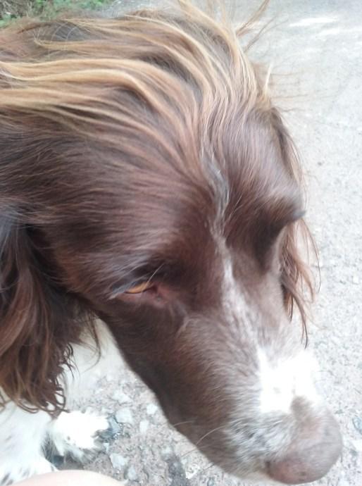 Freddie, our handsome English Springer Spaniel, during his dog Walking
