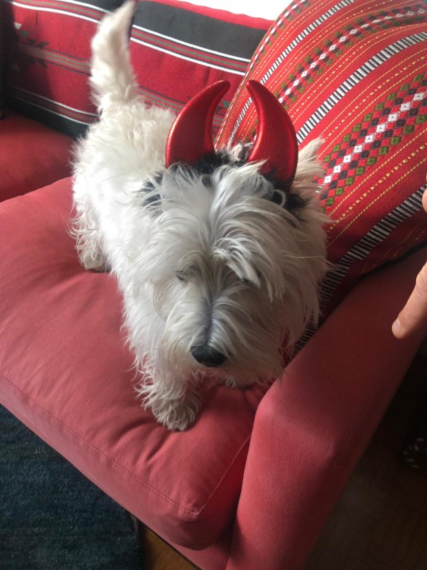 Bressay 'Brus', the West Highland Terrier, for his Halloween