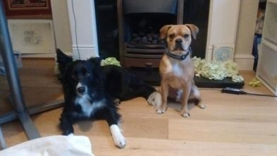 Chester, our Border Collie, and Ziggy, our crossbreed Pug/Cocker Spaniel/French Bulldog/Boston Terrier, and Chester, our Border Collie, for their dog Day Care