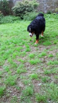 Winston, our handsome Bernese Mountain Dog, during his dog Walking