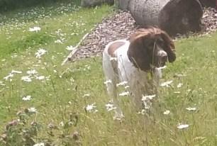 English Springer Spaniel Freddie playing outdoors