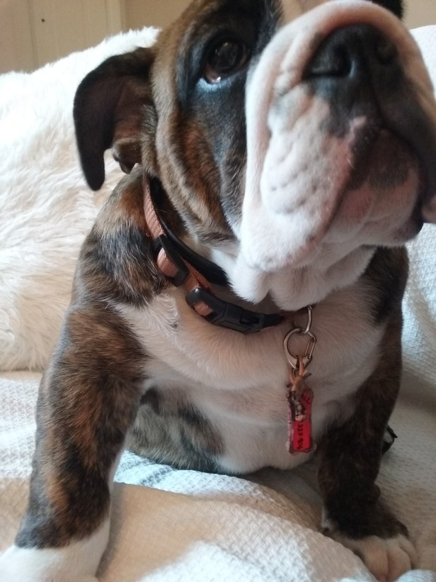 Chomondeley the English Bulldog indoors