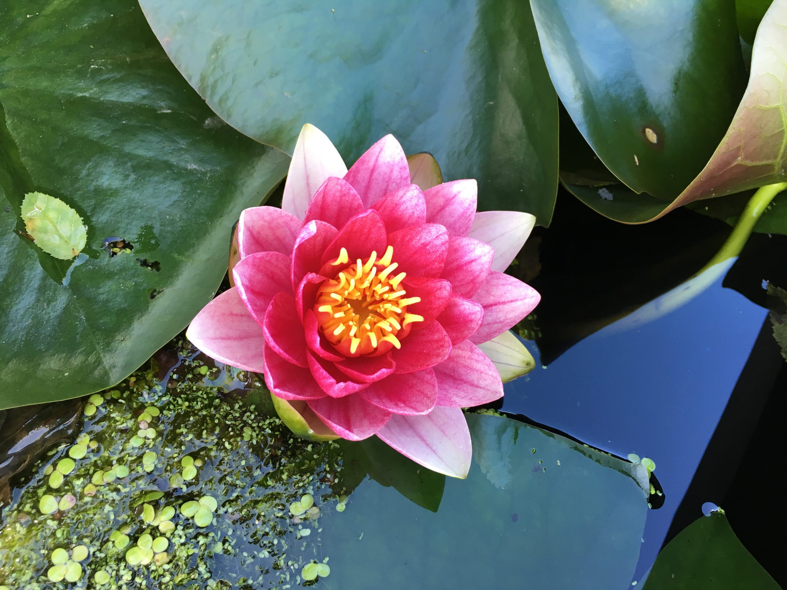 pretty pink water lily flower