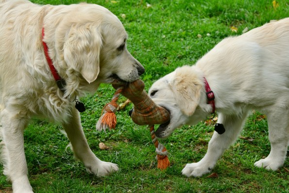 2 golden retriever dogs playing with a toy