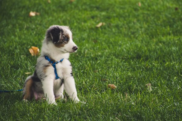 puppy collie in a field on a harness
