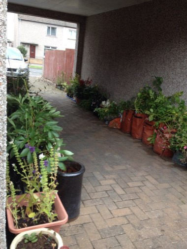 Poly bag plant galore and there's more round the front of the house in pots!!