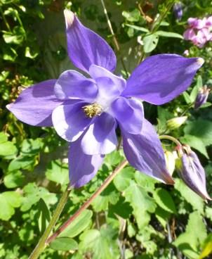 Lilac Star.