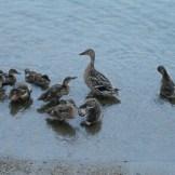 Essex Ducks - WIY