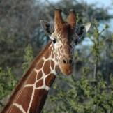 Giraffe - WIY