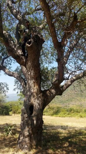 Tahn in the Amarular tree