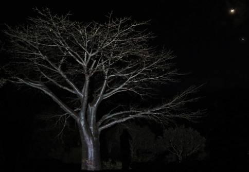 Baobab shoot