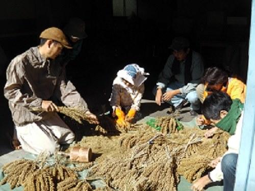 古老より粟の脱穀を学ぶ会