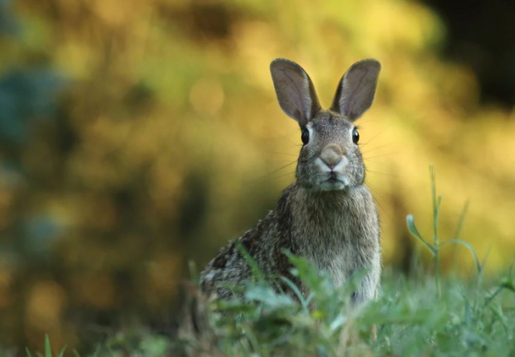 Hare in grass looking at camera