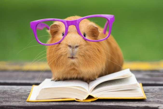 Cute guinea pig in glasses with a book gaining knowledge