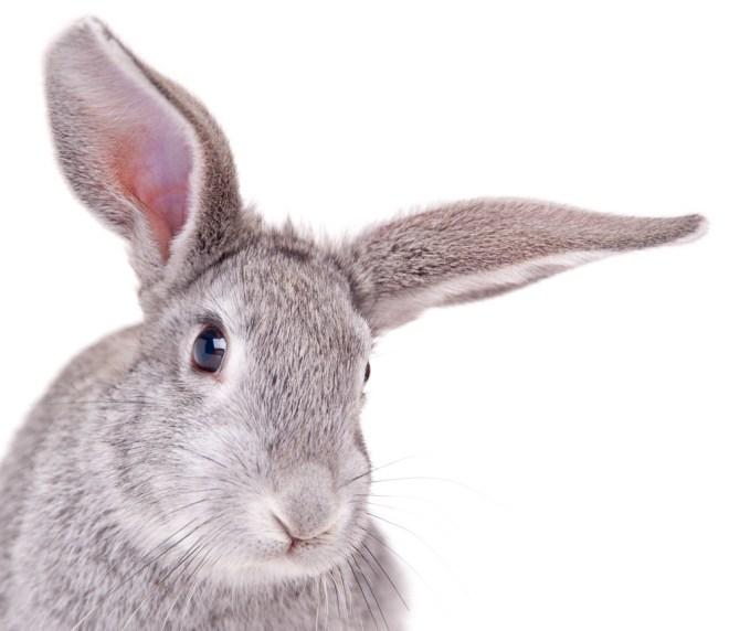 coelho-chinchila-americano