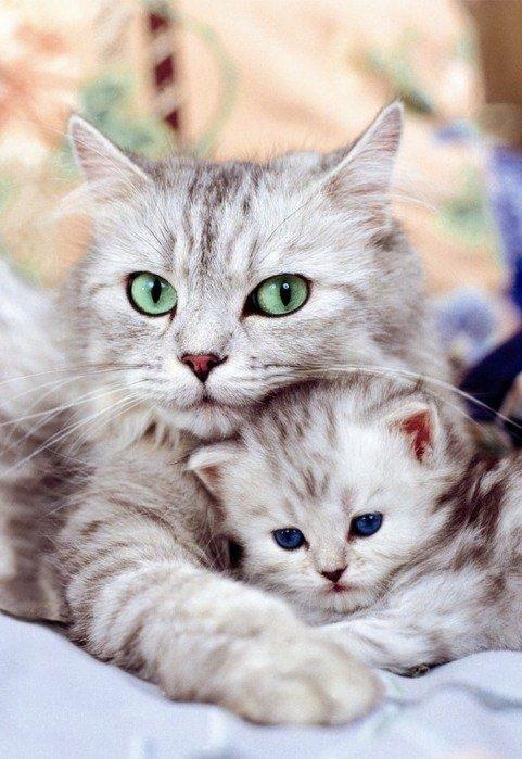 gatos_olhos_claros