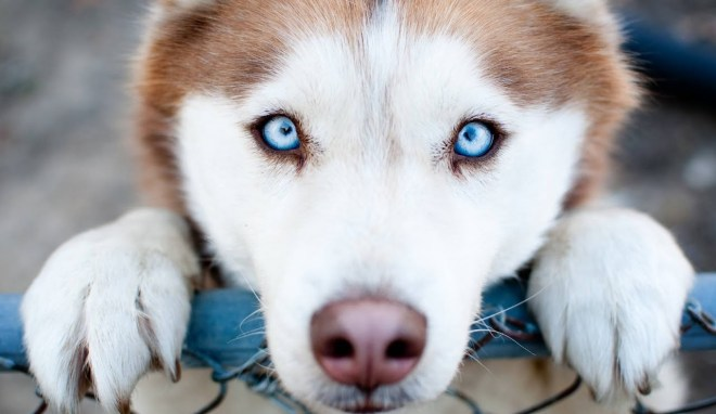 husckey-olho-azul