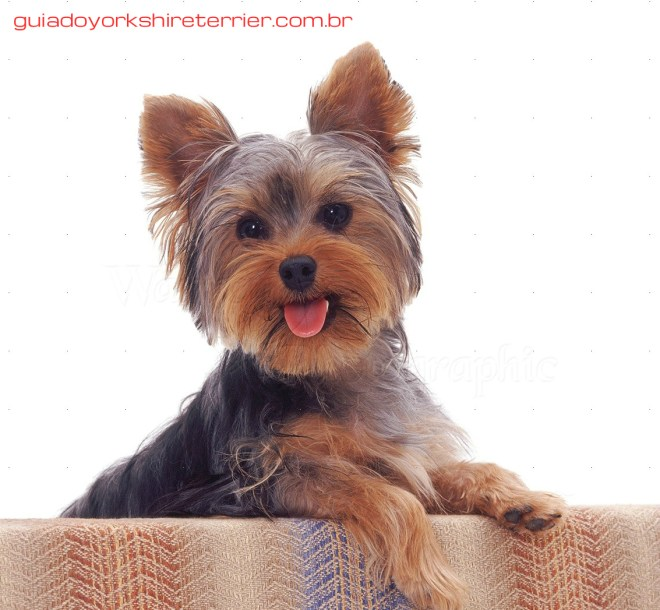 08107-Yorkshire-Terrier-pup-with-its-paws-up-white-background