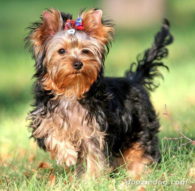Yorkshire-Terrier-Puppy-9