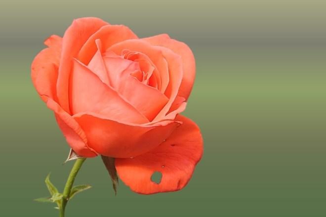 rose-1593615_960_720
