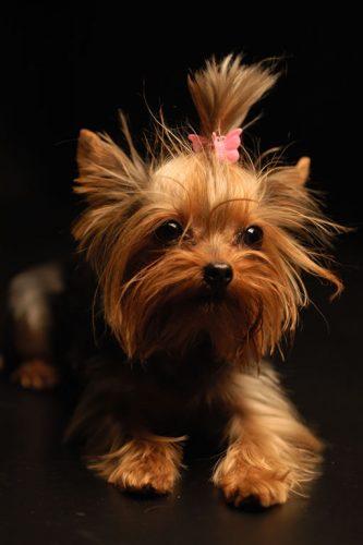yorkshire-terrier-8-333x500