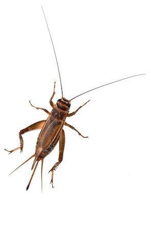 Wie man Grillen loswird - Insektendetail 2