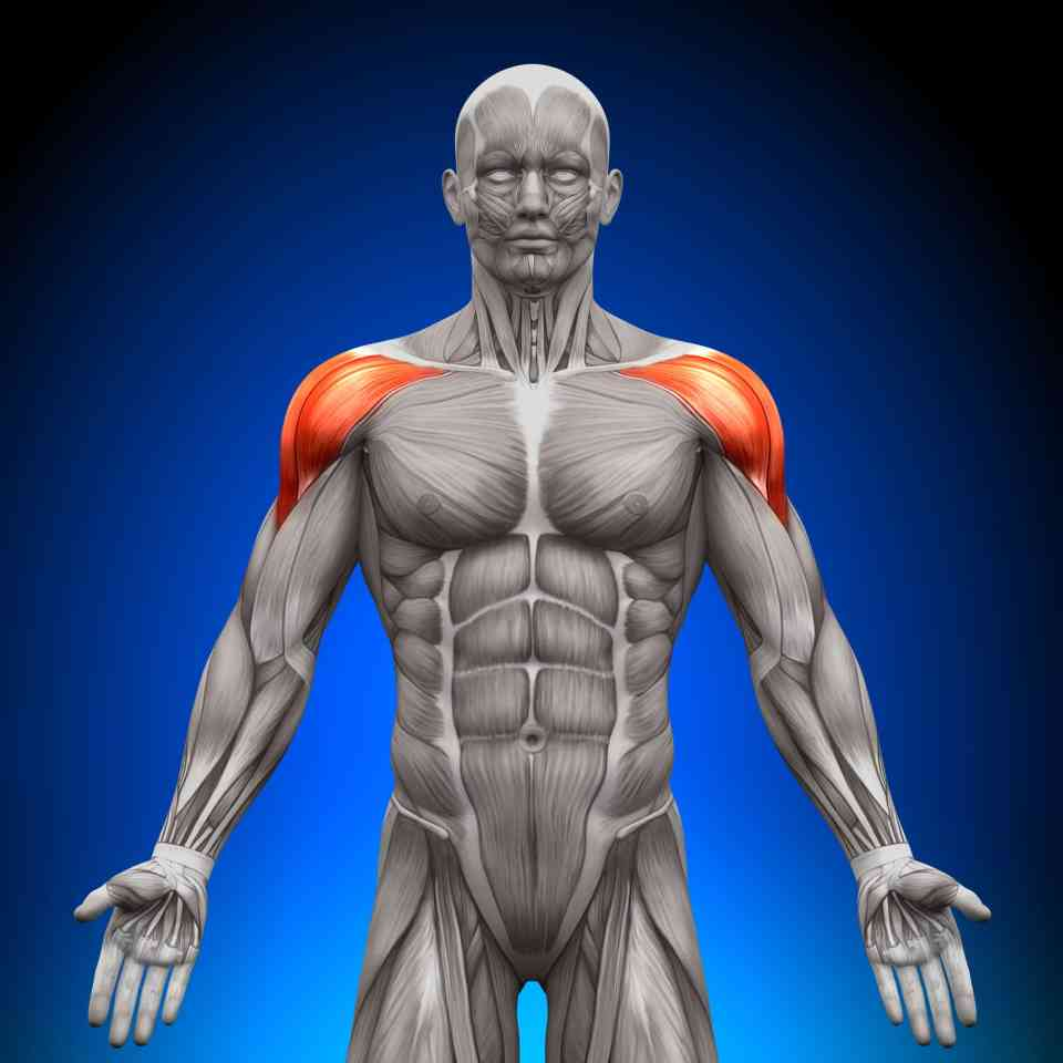 anatomical image deltoid muscles in article for maintaining healthy shoulders