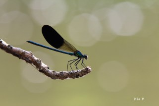 libellules-1
