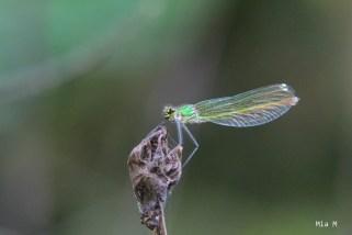 libellules-2