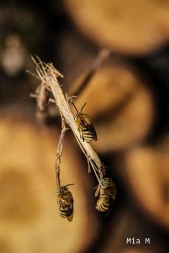 aout13-abeille-2