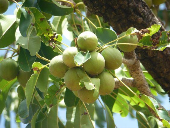 fruits de l'arbre de karité