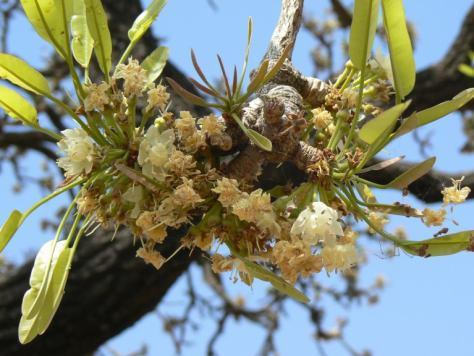 fleurs de l'arbre de karité