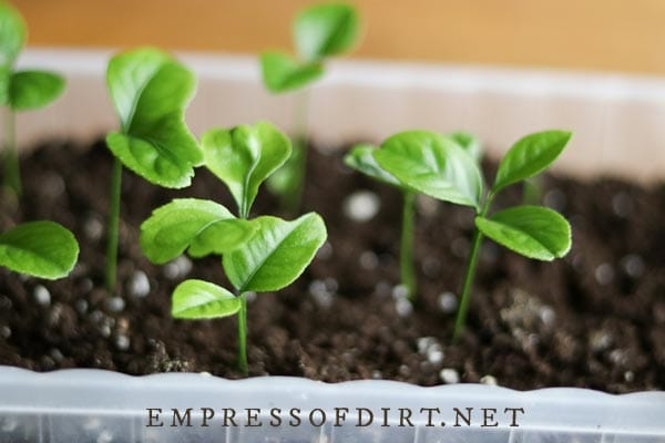 Young citrus plant seedlings.