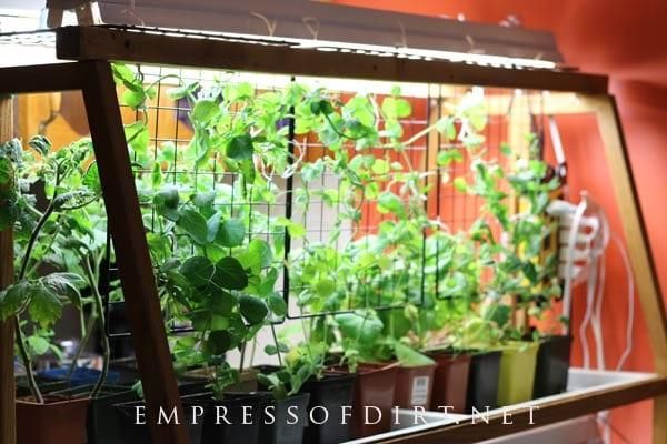 indoor gardening vegetables year round How to Grow Vegetables Indoors Year-Round | Empress of Dirt