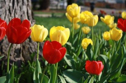 evening-tulips-3