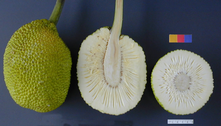 Apparently breadfruit looks like this. Thanks, wikipedia!