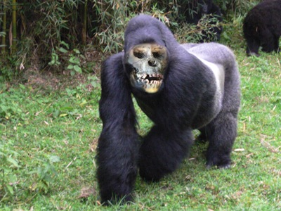 Band Of Zombie Gorillas Discovered In Congo