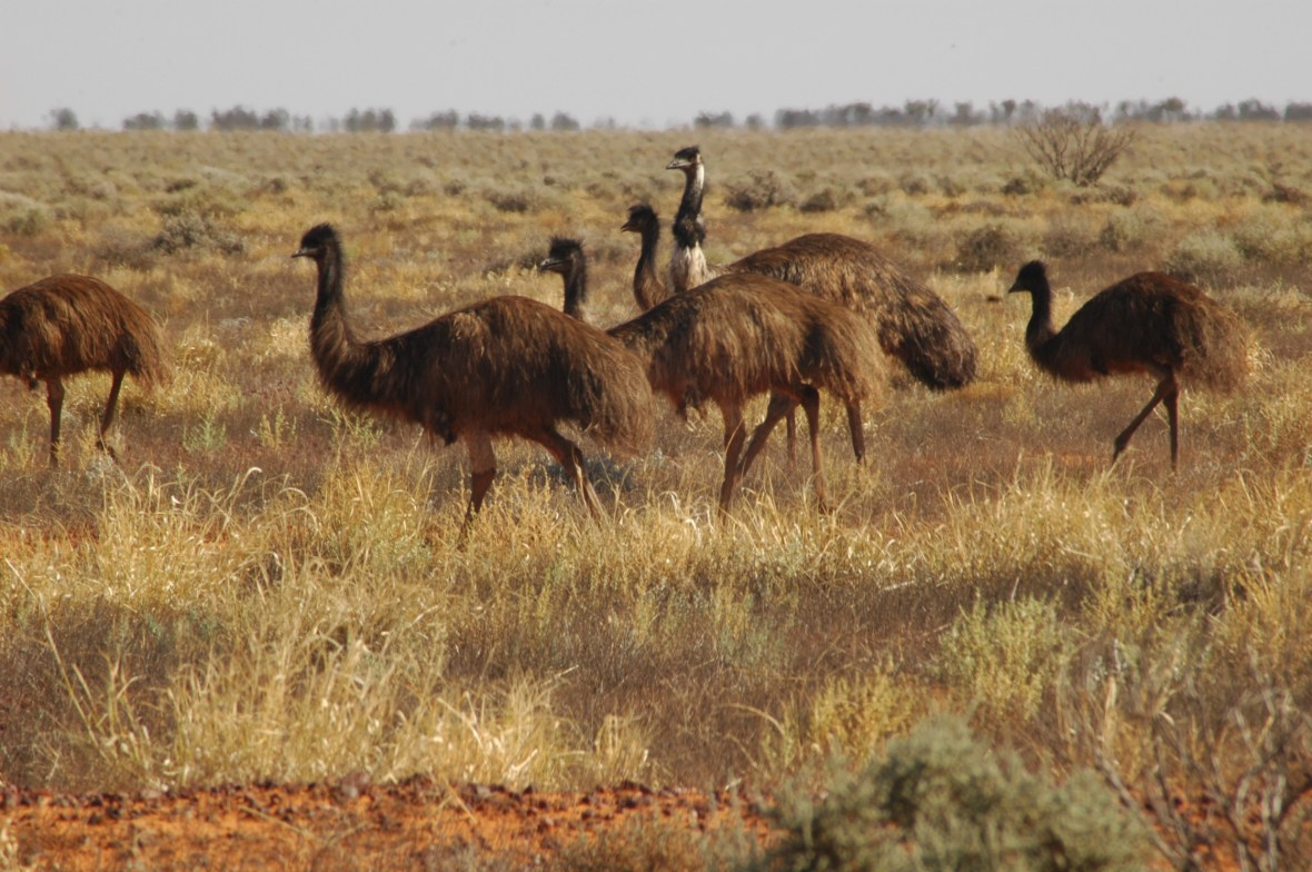 Wild Emus in Outback