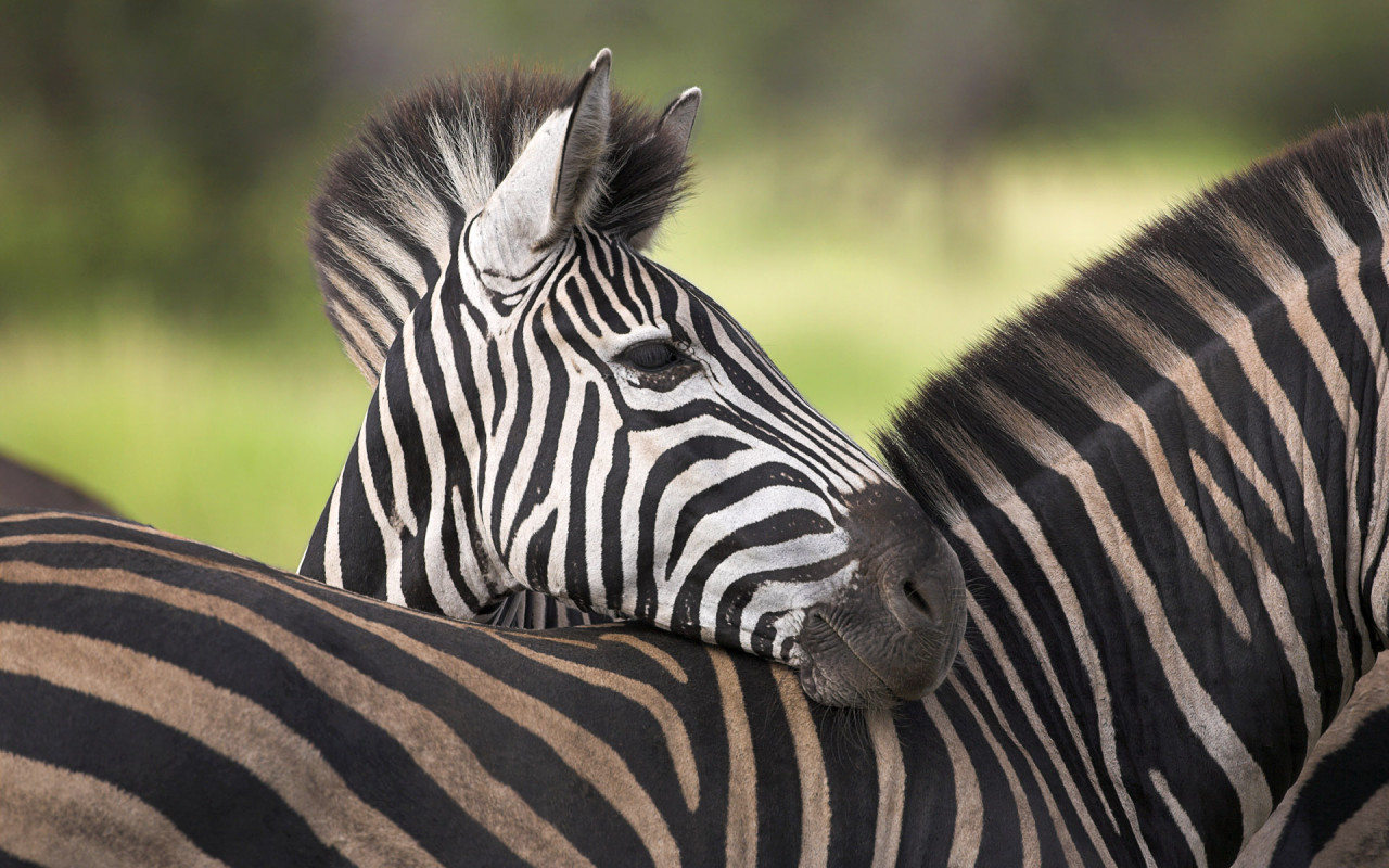 Plain's Zebra at Kruger National Park