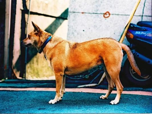 Guarded dog - Kodak E100VS - shot at ISO200 and cross processed