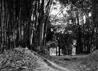 Bamboo Glade - ILFORD HP5 PLUS - EI 800