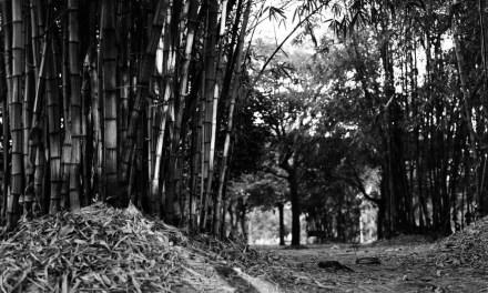 Bamboo Glade – Ilford HP5+ (120)