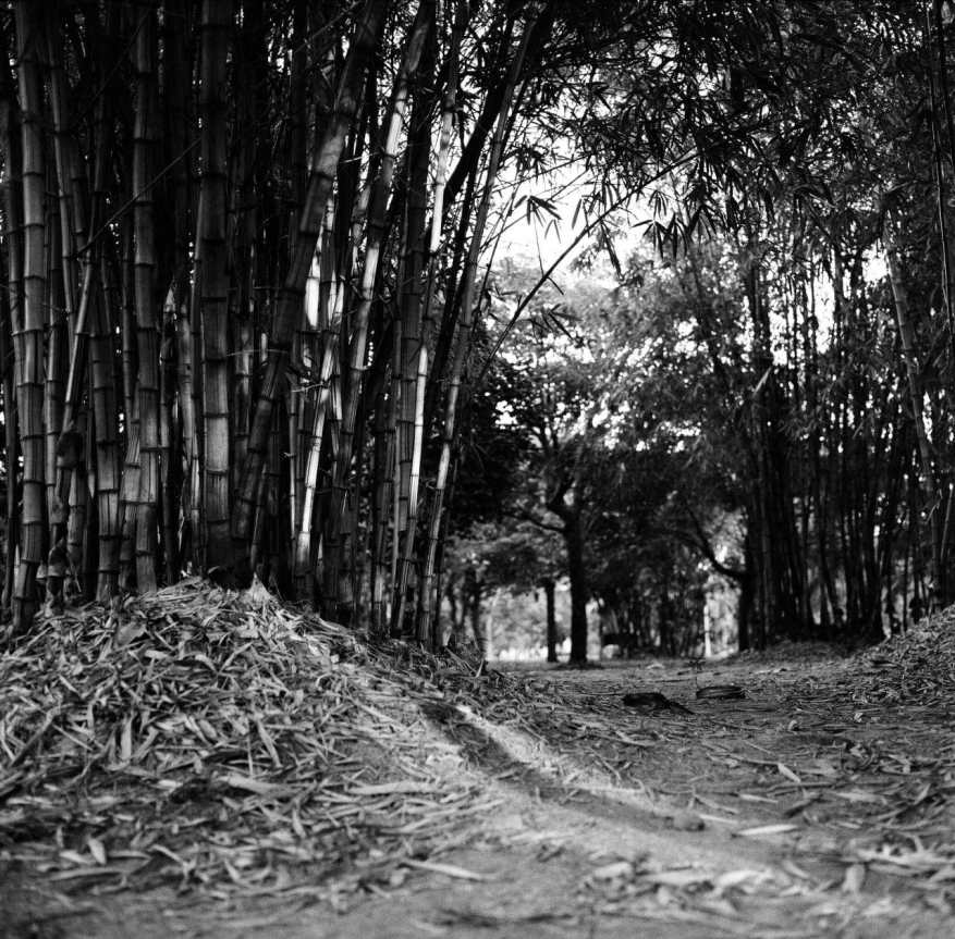 Bamboo Glade - Shot on ILFORD HP5 PLUS at EI 800. Black and white negative film in 120 format shot as 6x6. Pushed one stop.