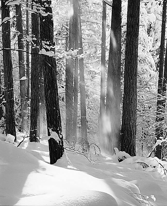 Snow falling from the trees Pentax 67II Pentax 165mm LS Ilford FP4 Plus Appennino Tosco Emiliano, Italy.