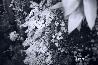 Infra-fern - Rollei 400 Infrared