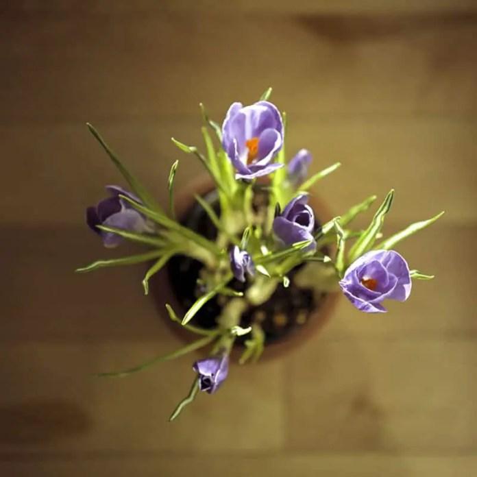 """First Bloom"", Calgary, Alberta - Rolleiflex 3.5F | Rolleinar 2 Close Focus Filter | Kodak Portra 400"