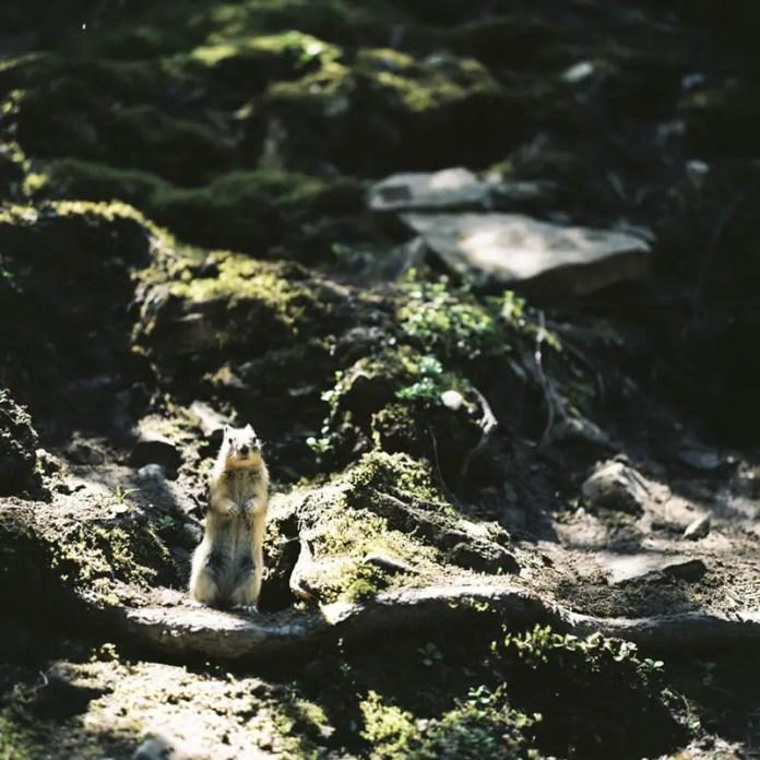 """Columbian Ground Squirrel"", Johnston Canyon, Banff National Park, Alberta - Rolleiflex 3.5F | Kodak Ektar 100"
