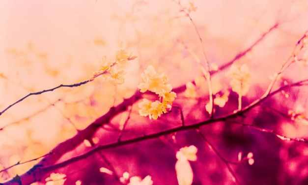 Blossom blaze – Shot on Kodak AEROCHROME III 1443 at EI 200 (120 format)