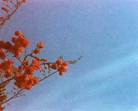 Gloriously grainy blossom burst - Kodak Gold 400 shot at ISO400